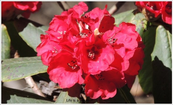 Sandakphu_Red_Rhododendrons
