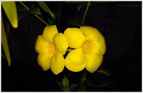 Malaysia Flower