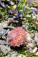 Eine kleine Anemone fiel der Ebbe zum Opfer. Ich hab sie wieder ins tiefere Wasser gesetzt und siehe da...