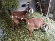goats16