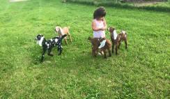 goats6