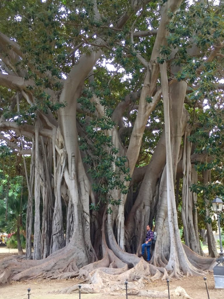 A huge Fig tree with many intersecting branches