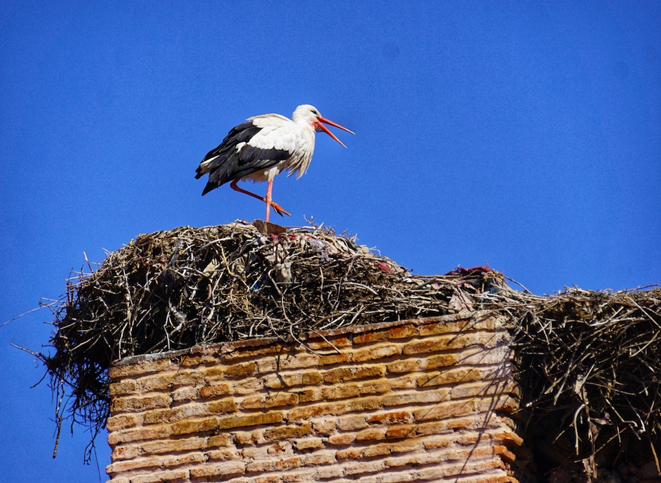 Stork with a large nest of branches and twigs