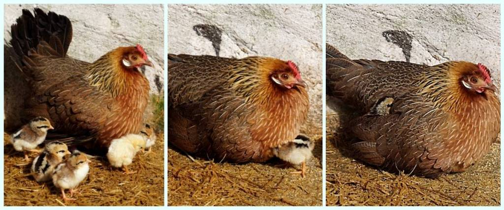 Three photos - one shows hen and 4 chicks; next one shows hen and last chick going under feathers and last one shows just hen but with one tiny little chick head popping up through the feathersTrees and plants surrounding a small river at Parque Biologico de Gaia
