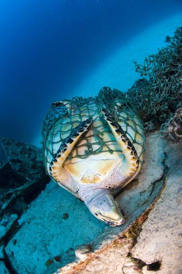 turtle-in-net