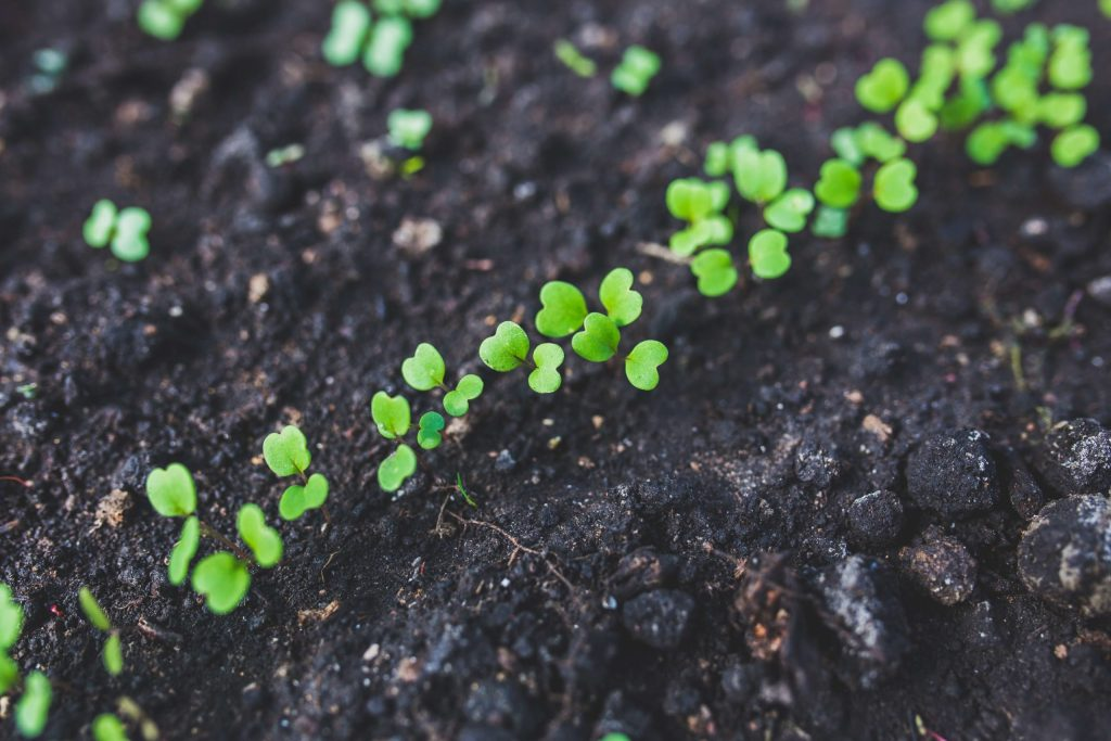 Small green plants popping out of the ground - in-ground vegetable gardening is perfect for beginners