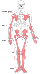 Human appendicular skeleton diagram