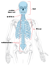 Human Axial skeleton diagram