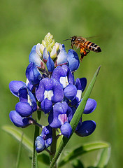 Bluebonnet with Honeybee hovering by Texas Eagle on Flickr