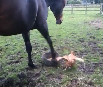 UK horse warns chicken from stealing his oats by stamping his hoof knocking feed everywhere. By Pippa2shoes on Youtube.