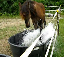 Friesian filly splashing in water trough.