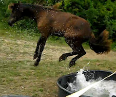 Friesian filly gets a surprise and jumps.