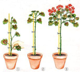 пеларгония формирование кроны деревца