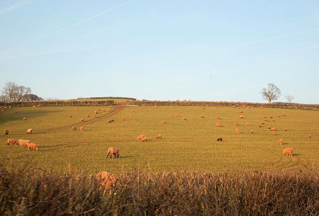 Hill House Nursery пейзаж луг с козами