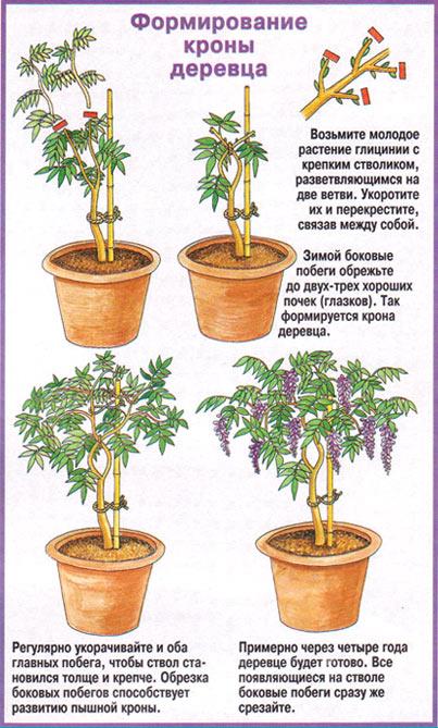 глициния формирование кроны штамбового деревца