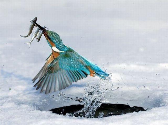 птица ловит рыбу