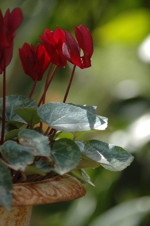 фото садовых цветов цикламен