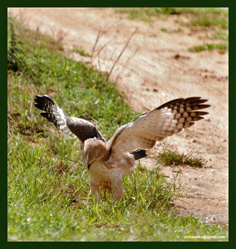 орел фото фауна птицы природа шри-ланки