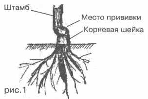 Что такое корневая шейка