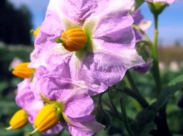 Цветущий ранний картофель