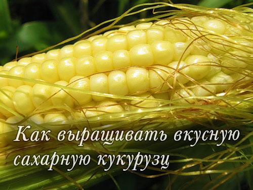 Как выращивать вкусную сахарную кукурузу
