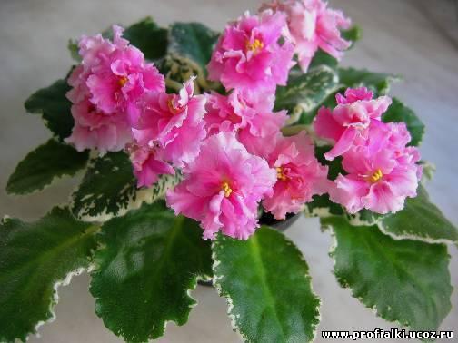 Красиво цветущая фиалка