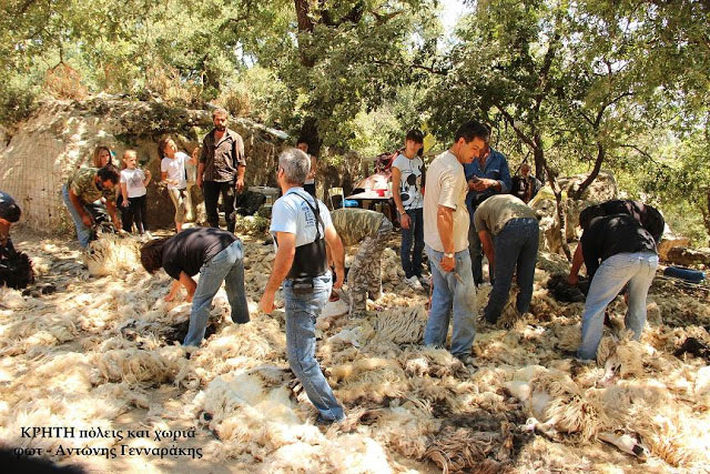 , The shearing of sheep in Crete: an impressive celebration
