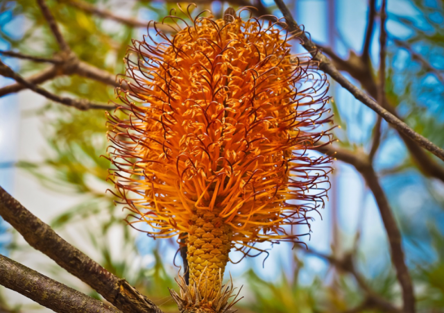 The Beauty of Australian Wildflowers - Banksia is an interesting flowering plant, which produces a large amount of nectar important for bees, bats, and birds.