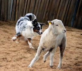 Weird sheep-move.