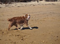 Mallei showing that, despite what I say, he IS an Aussie Shepherd and CAN do the Aussie shepherd gait!