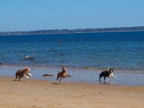 The 3 dogs who thought Penny could actually throw and so took off down the beach...