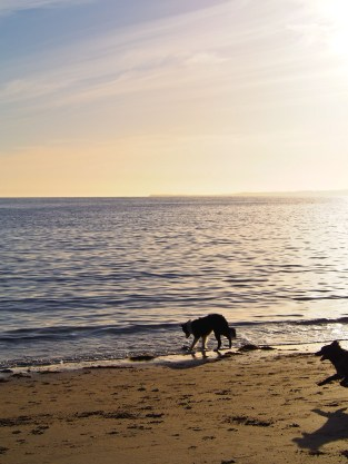 Badger investigates the sea.