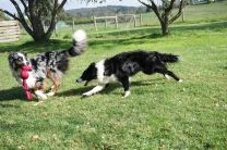 Post-agility training play... Loki comes in for the grab...!