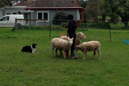 Loki doing some herding the other week. Such a good little border collie in his drop.