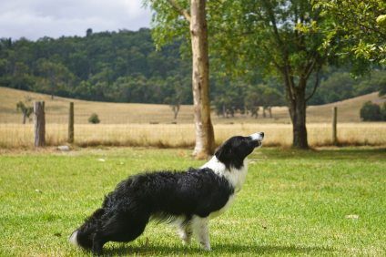 And now, let us see how the Border Collie jumps... Step 1...