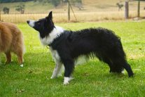 A side view of the collie