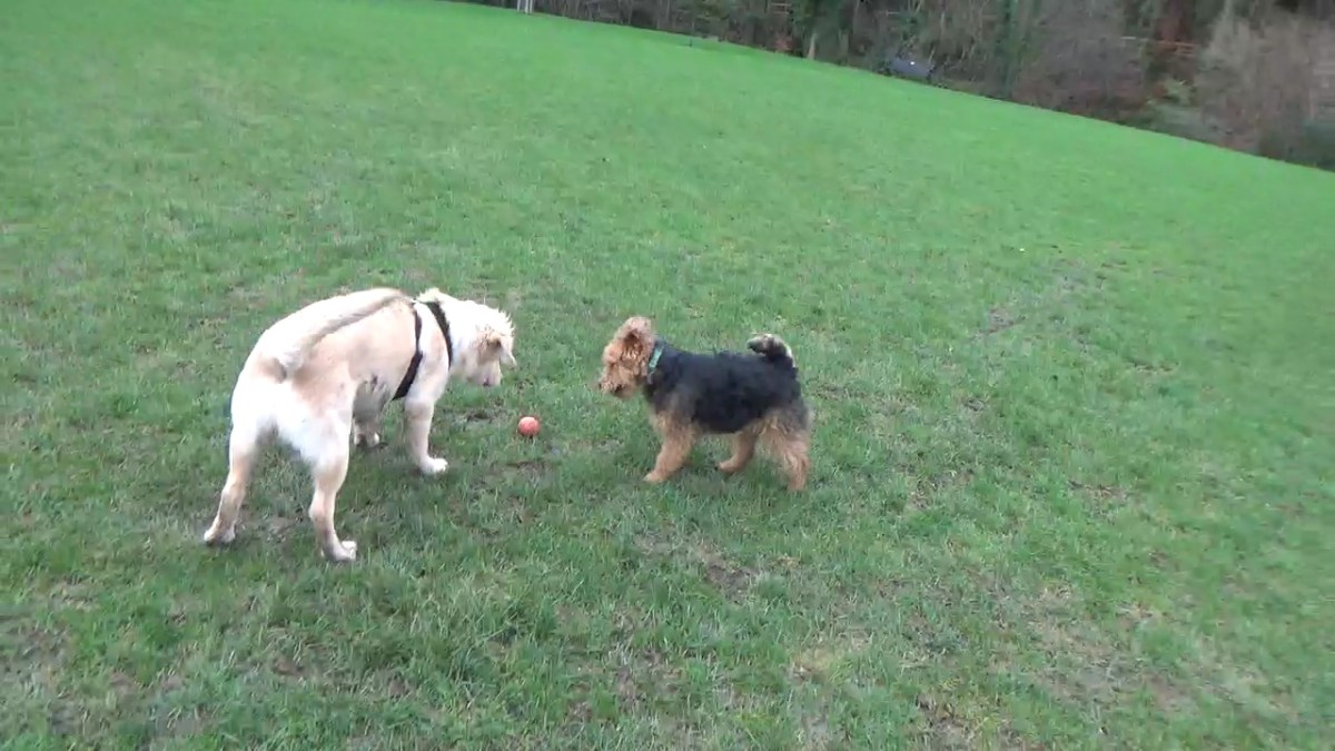 Sociaise Dogs by Letting them Play Together