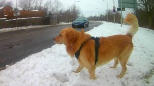 Teach your dog to cross the road safely