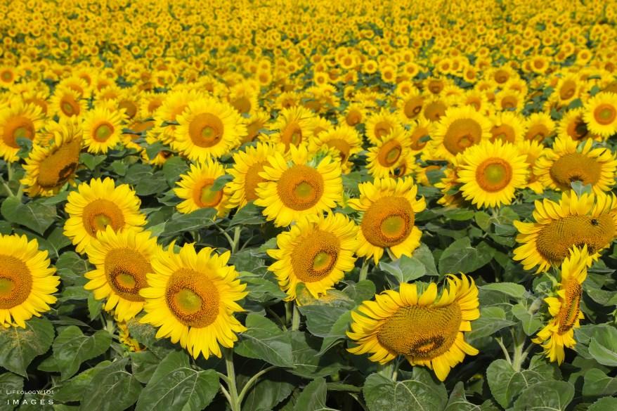 Best Sunflower Fields Toronto, Caledon Sunflower Fields, Ontario Sunflower Fields, Davis Family Farm,