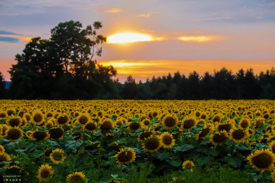 Davis Family Farm, Caledon Sunflower Fields, Sunflower Fields Toronto,