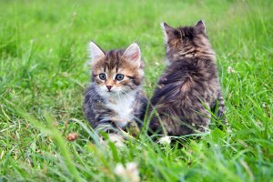Two  Little Furry Kitten Playing In Spring Meadow. Kitten On Gre