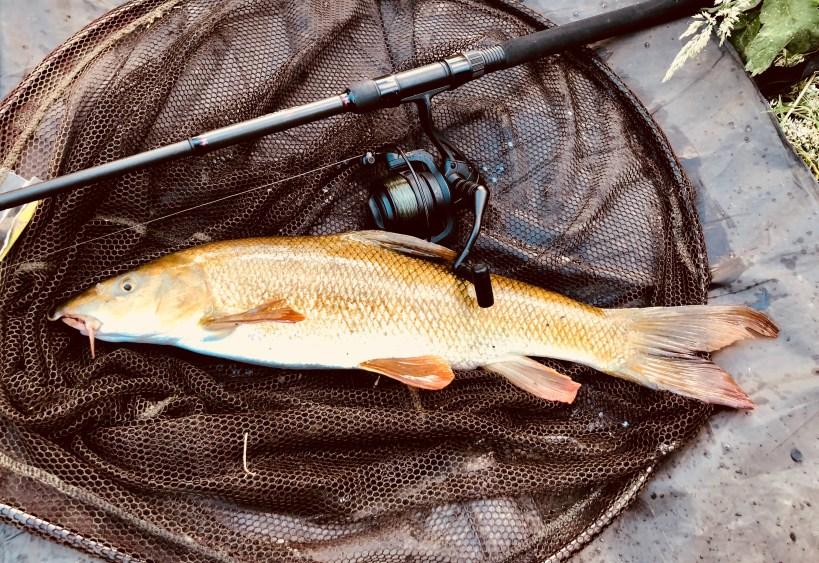 River Lea barbel