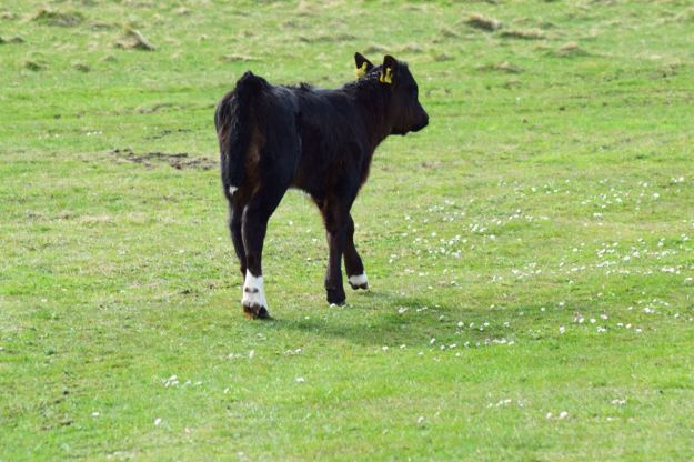 This calf appears to have lost a sock