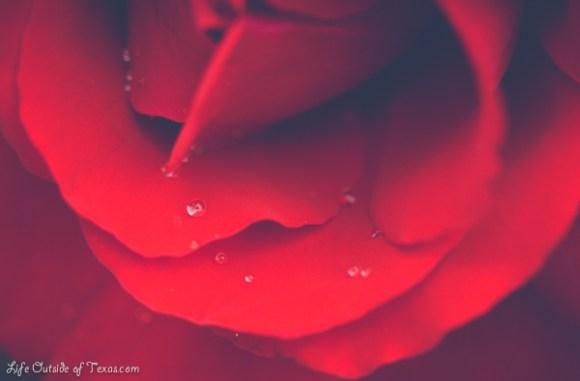 Stunningly Beautiful Roses in Gyeongju, Korea
