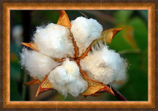 Cotton Bloom Large Framed Wall Art