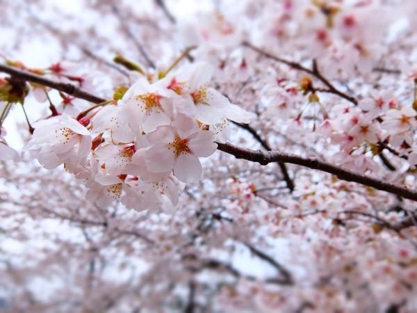 首都圏でもまだまだ満開の桜が観れるなんて知らなかった!桜が観たい方は河口湖へ急げ!!富士山と桜のコラボレーションが見れる!?