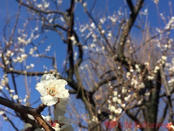 羽根木公園梅まつり2017 9