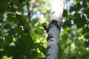 A Yellow Bellied Sapsucker at Killbear Park.  Always great oprotunities for bird watchers while camping!