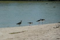 Whimbrel and Black necked stilts