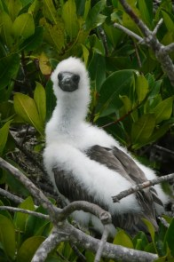 Red-footed boobie fledgling